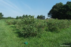 How to pick blueberries at a farm